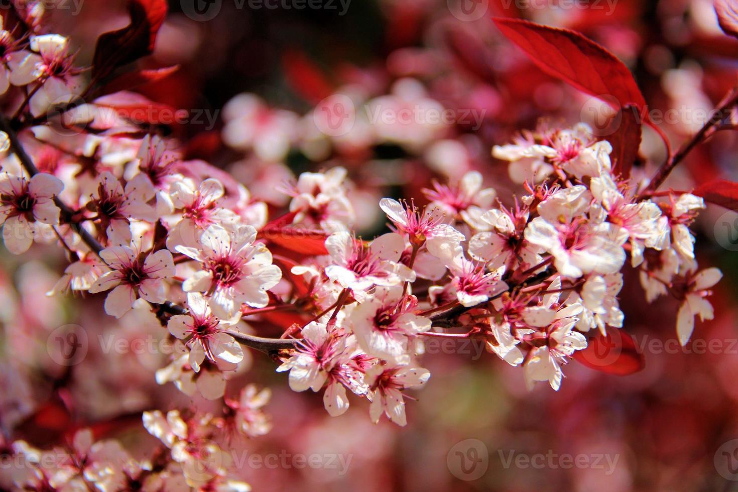 fioritura primaverile foto