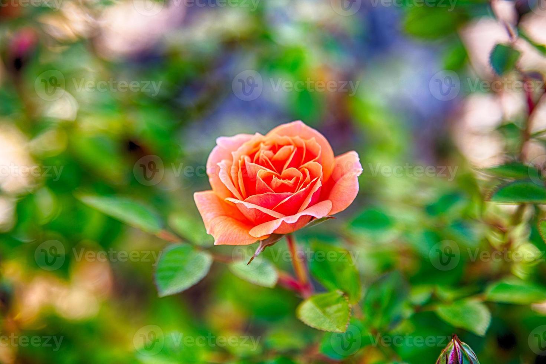 primavera rosa foto
