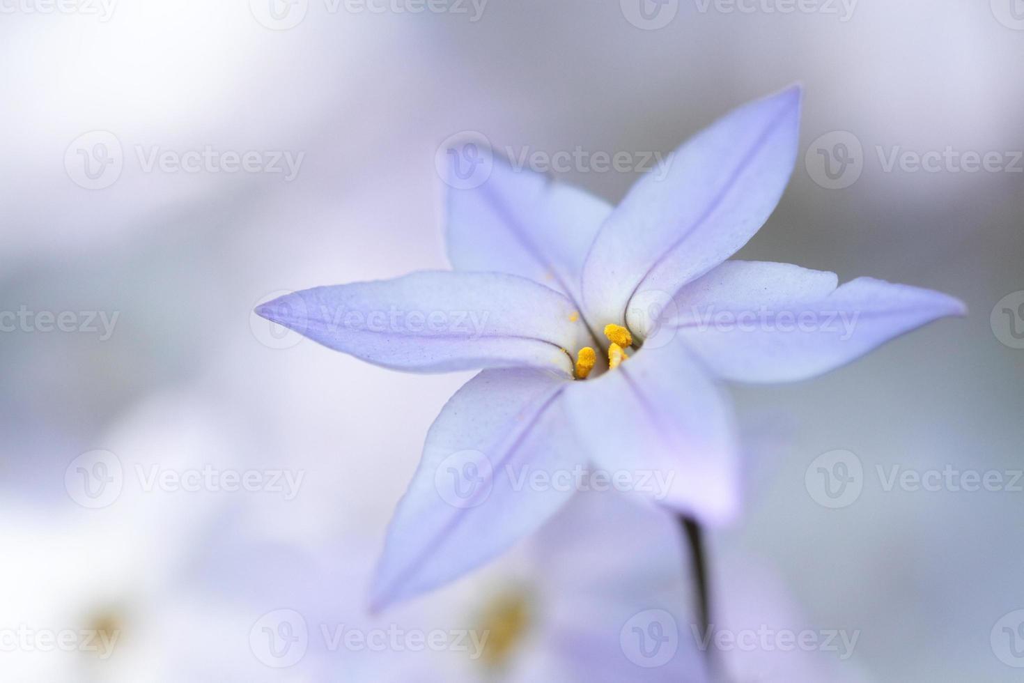 starflower di primavera foto