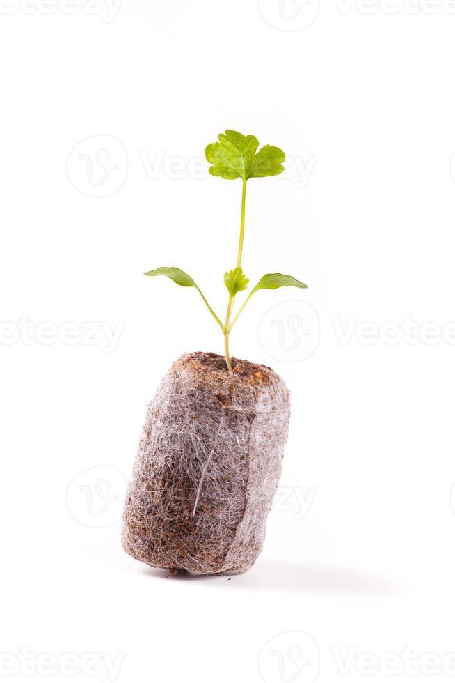 germoglio giovane in tavoletta di torba, pianta di sedano foto