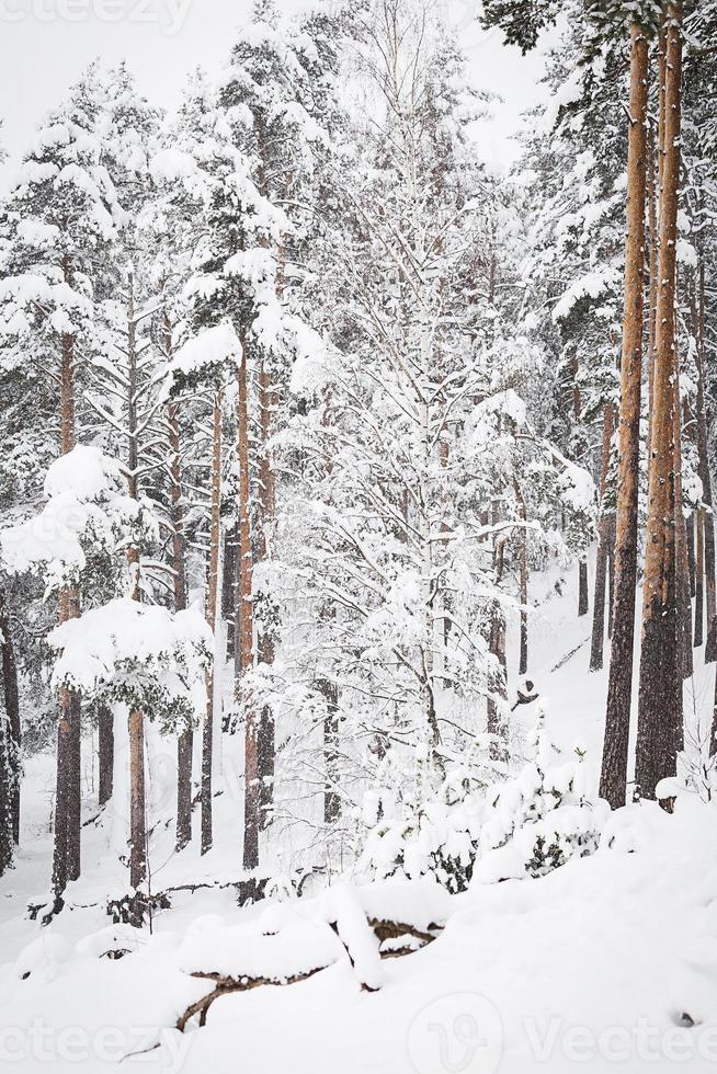 foresta russa di inverno nella neve foto