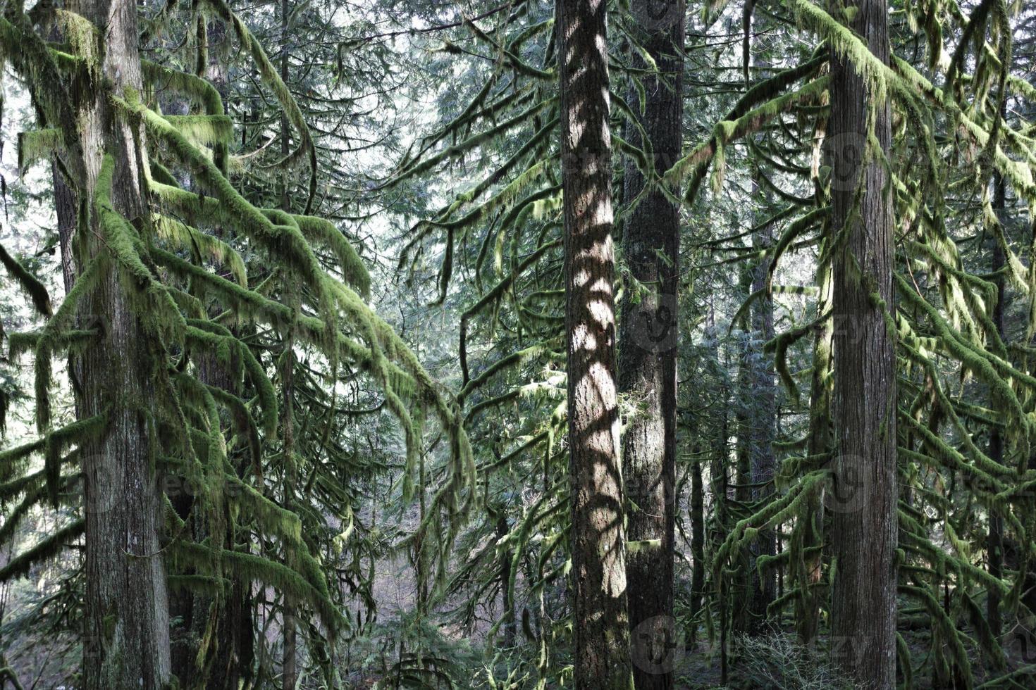 abeti nella foresta foto