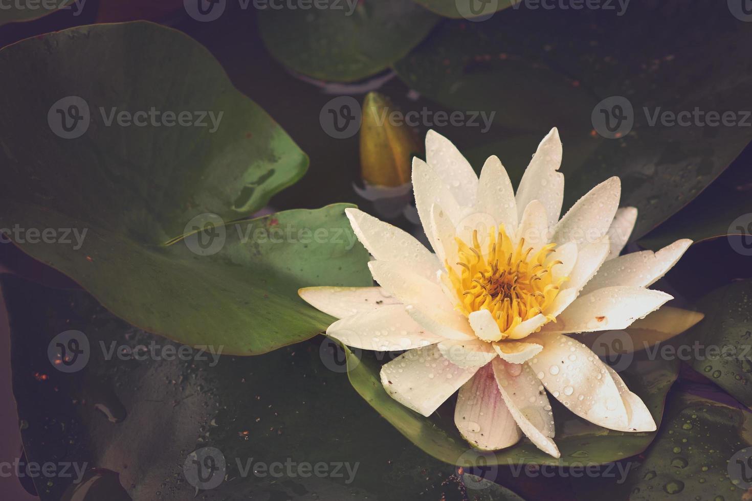 waterlily sul lago foto