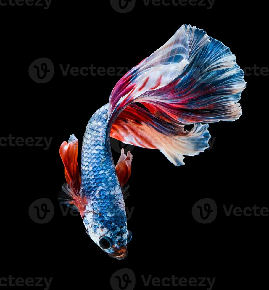 il pesce combattente del Siam sta nuotando foto