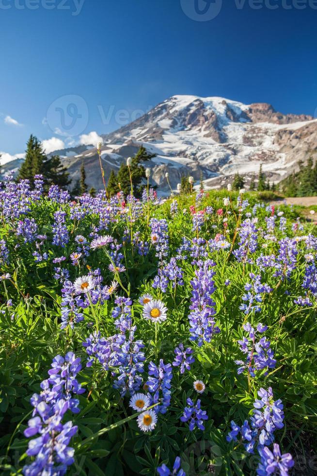 Monte Rainier e fiori di campo foto