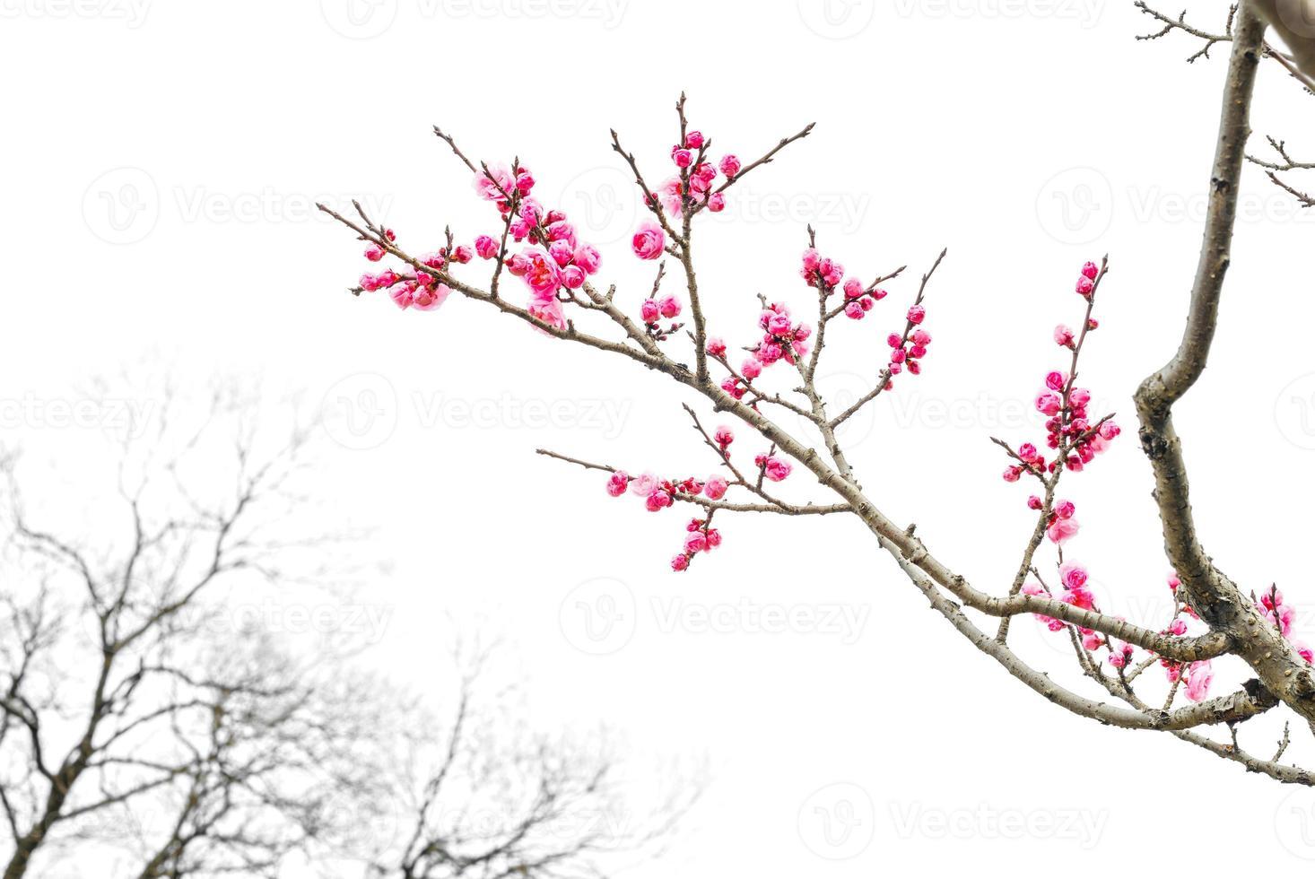 fiore di prugna foto