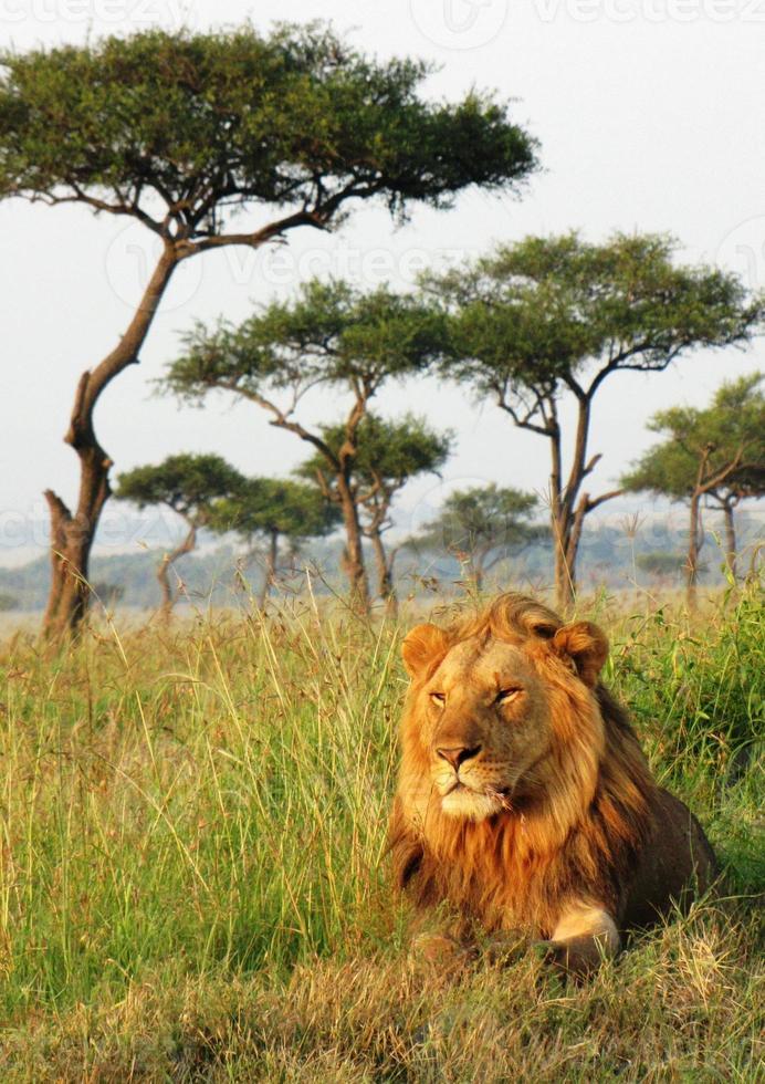 leone - savana, riserva nazionale masai mara, kenia foto