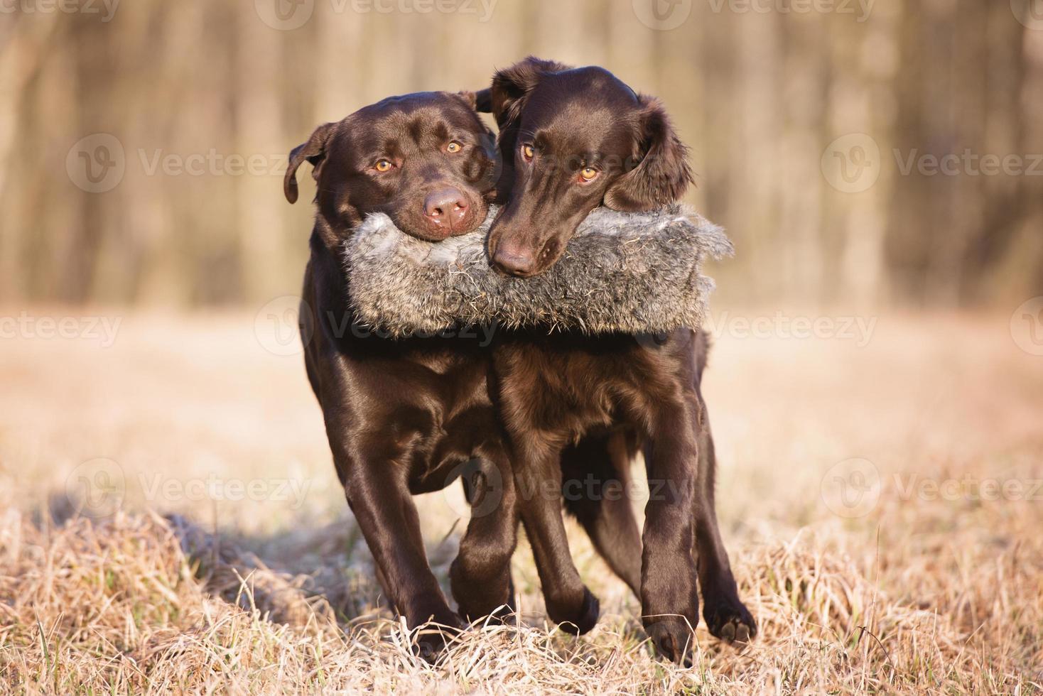 due cani che trasportano insieme un giocattolo da caccia foto