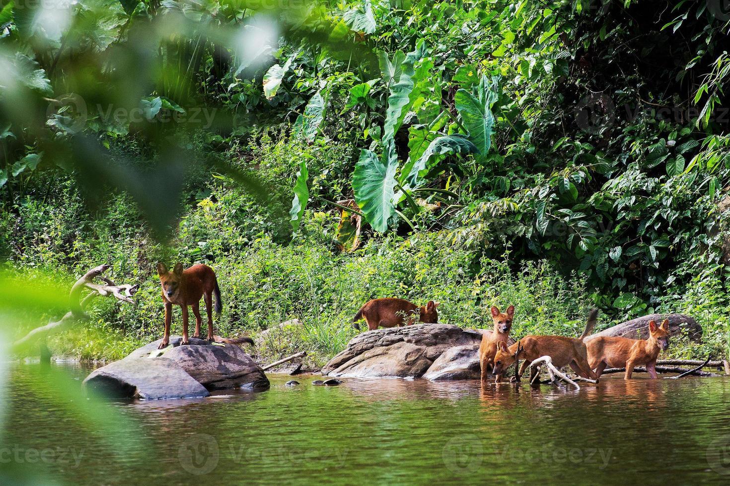 famiglia di cani selvaggi asiatici foto