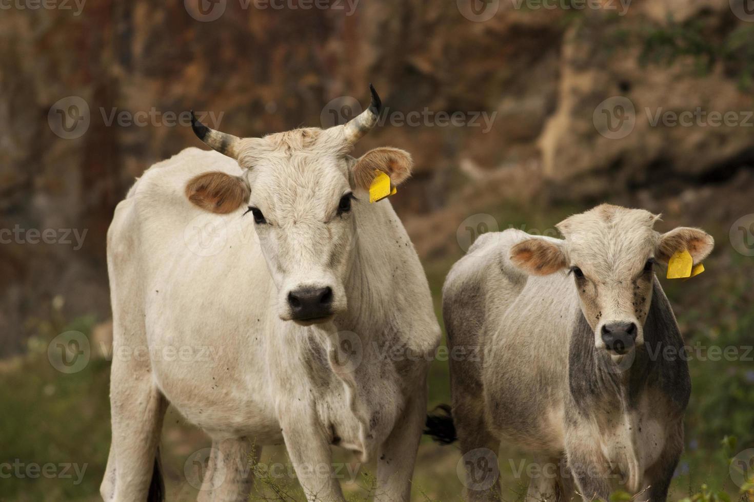 mamma mucca con i suoi piccoli foto