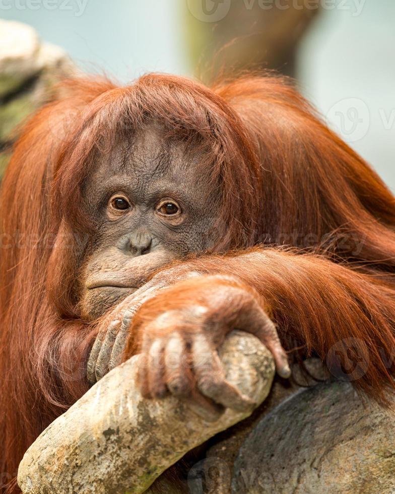orangutan femmina foto