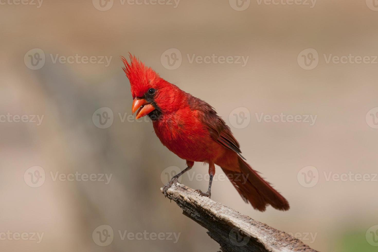 cardinale settentrionale foto