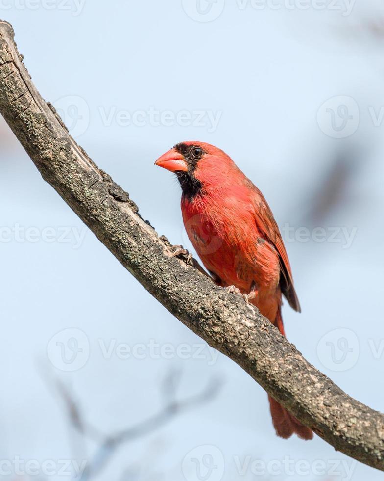 cardinale maschio foto