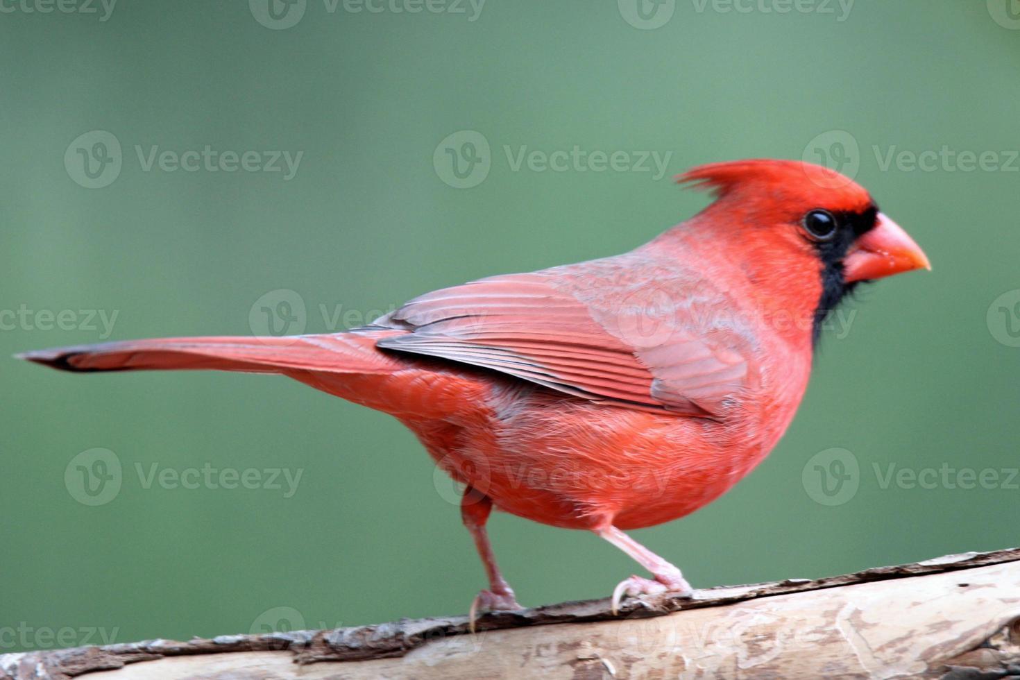 cardinale appollaiato maschio foto
