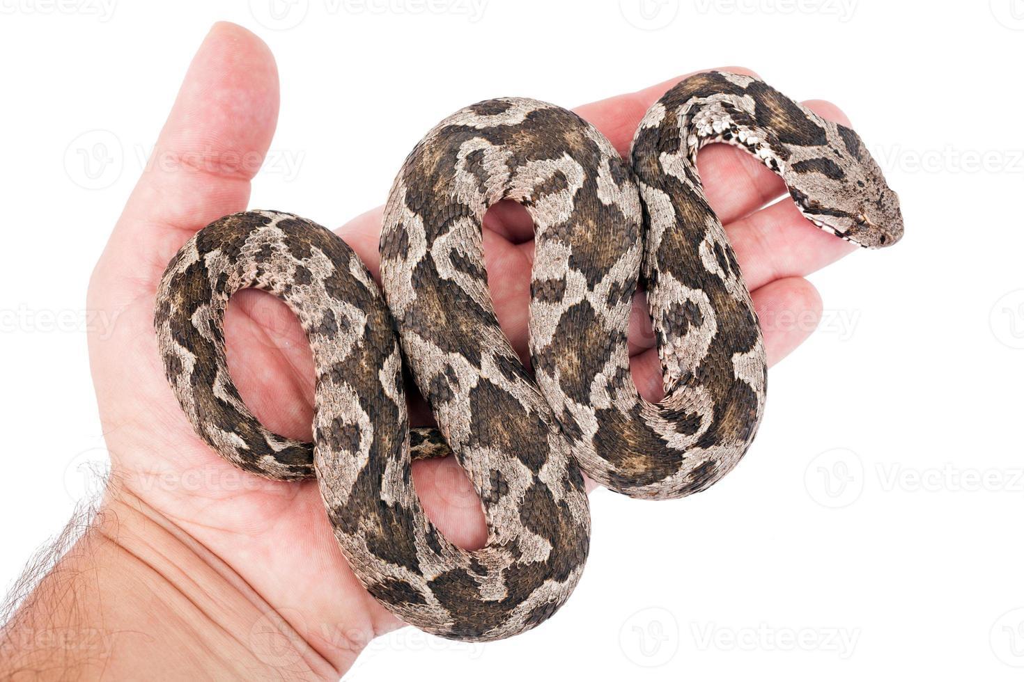 serpente vipera foto