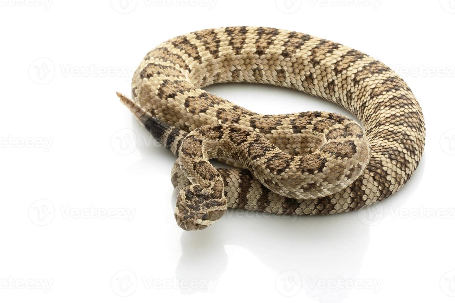 serpente a sonagli grande bacino foto