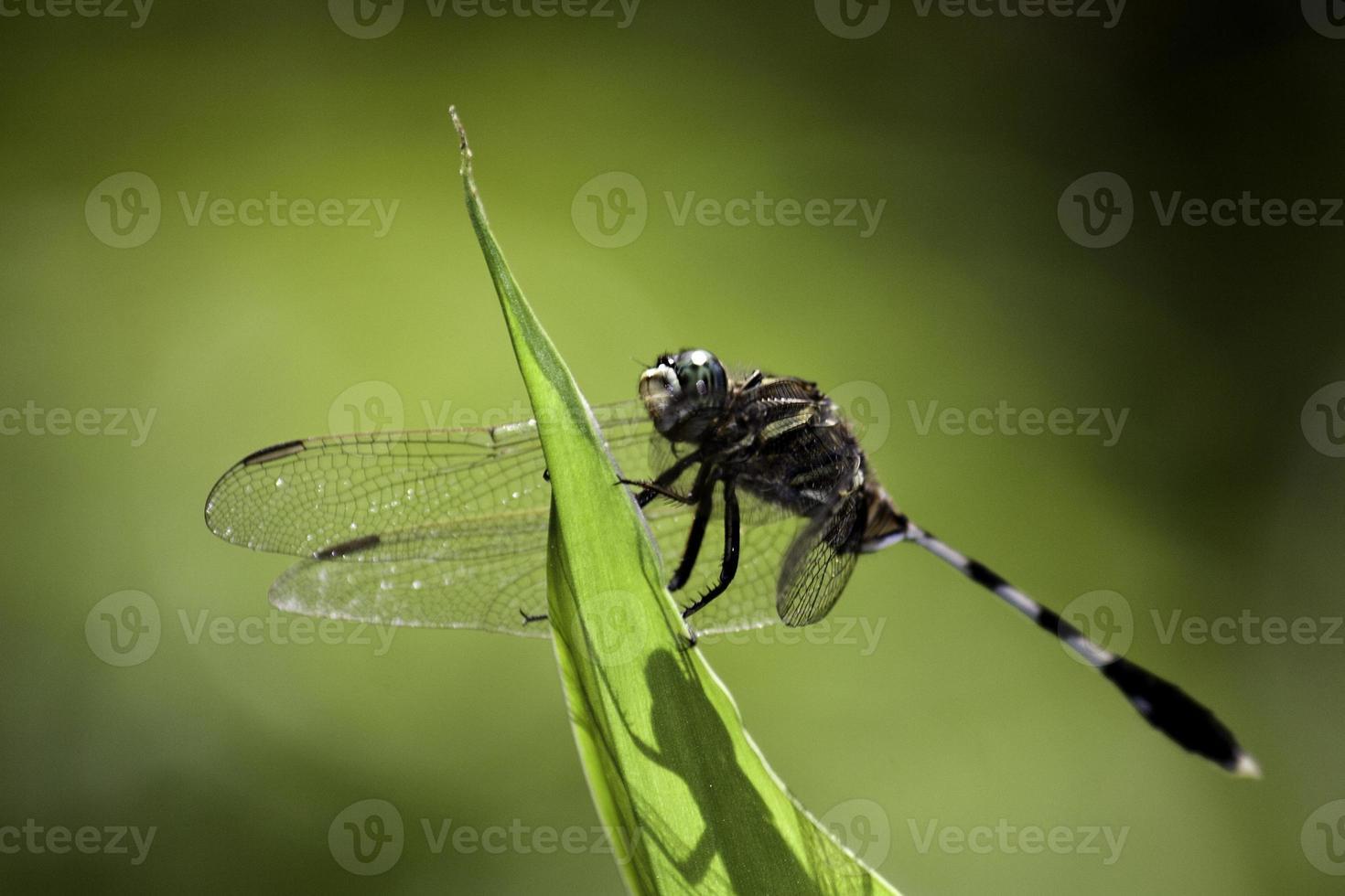 libellula su una foglia foto