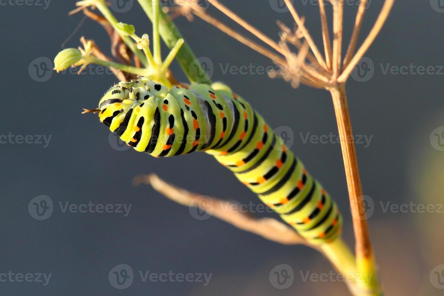 bruco a coda di rondine (papilio machaon) foto