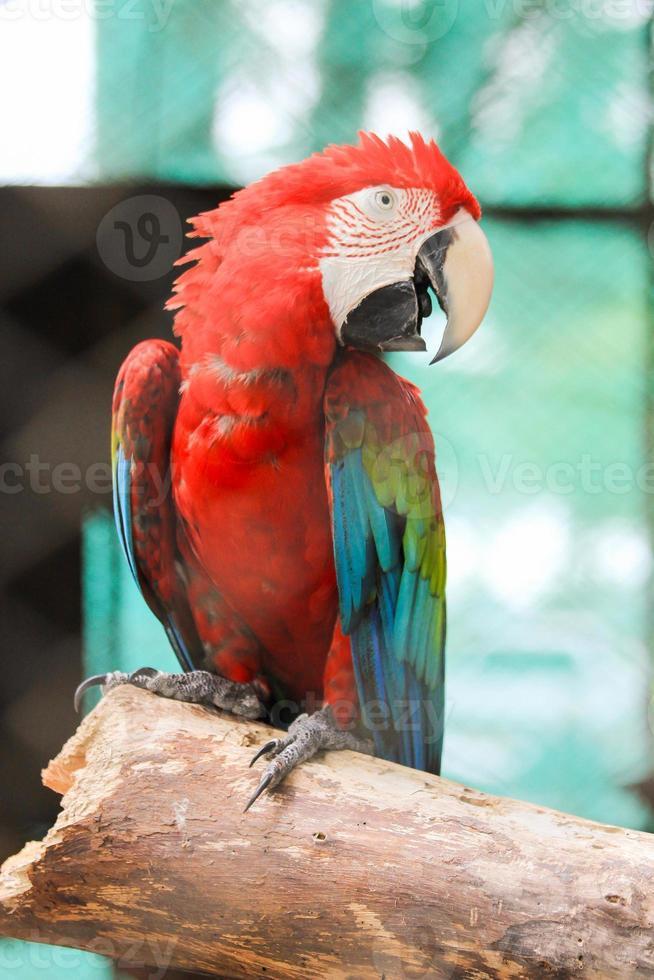 pappagallo colorato foto
