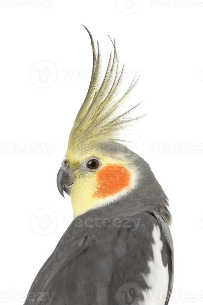 cockatiel - nymphicus hollandicus foto