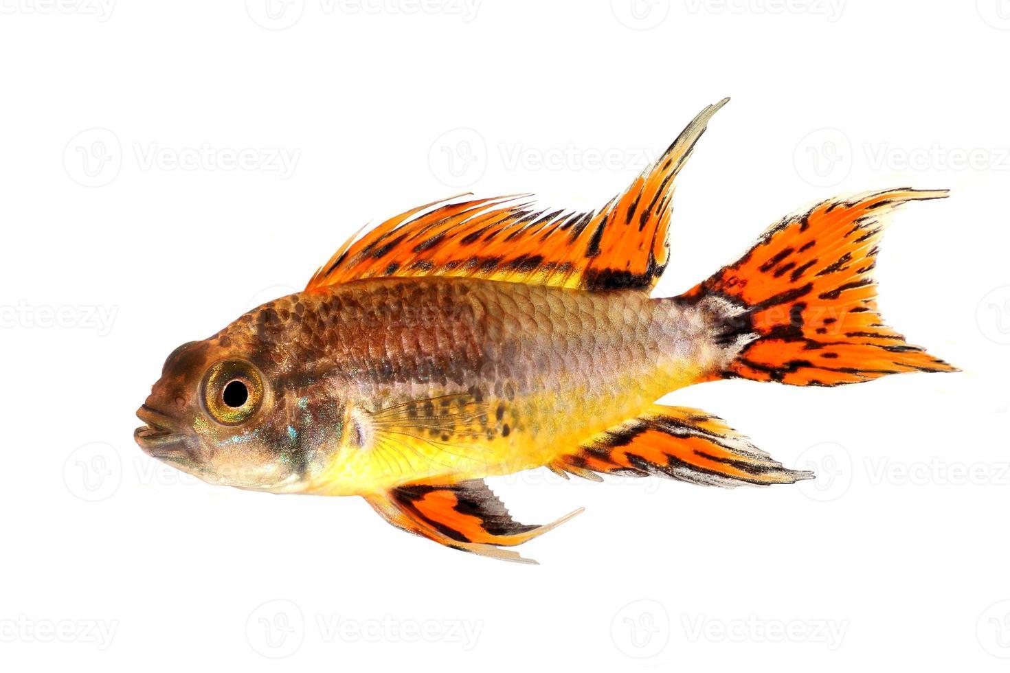 cacatua cichlid nano apistogramma cacatuoides pesci d'acquario foto