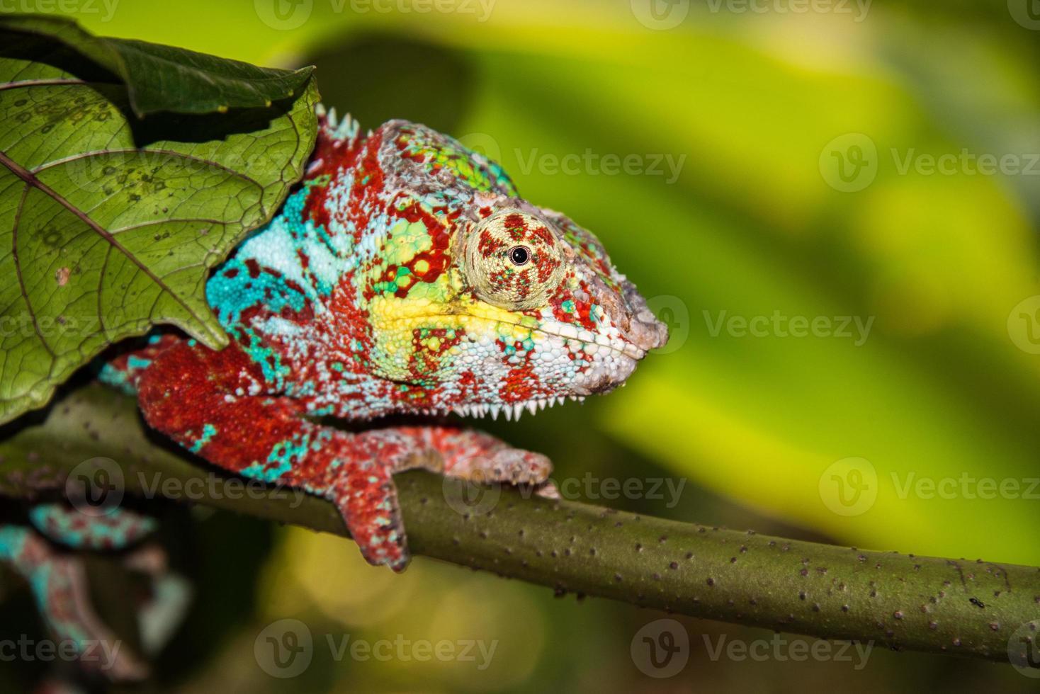 camaleonte del Madagascar su uno sfondo di albero foto