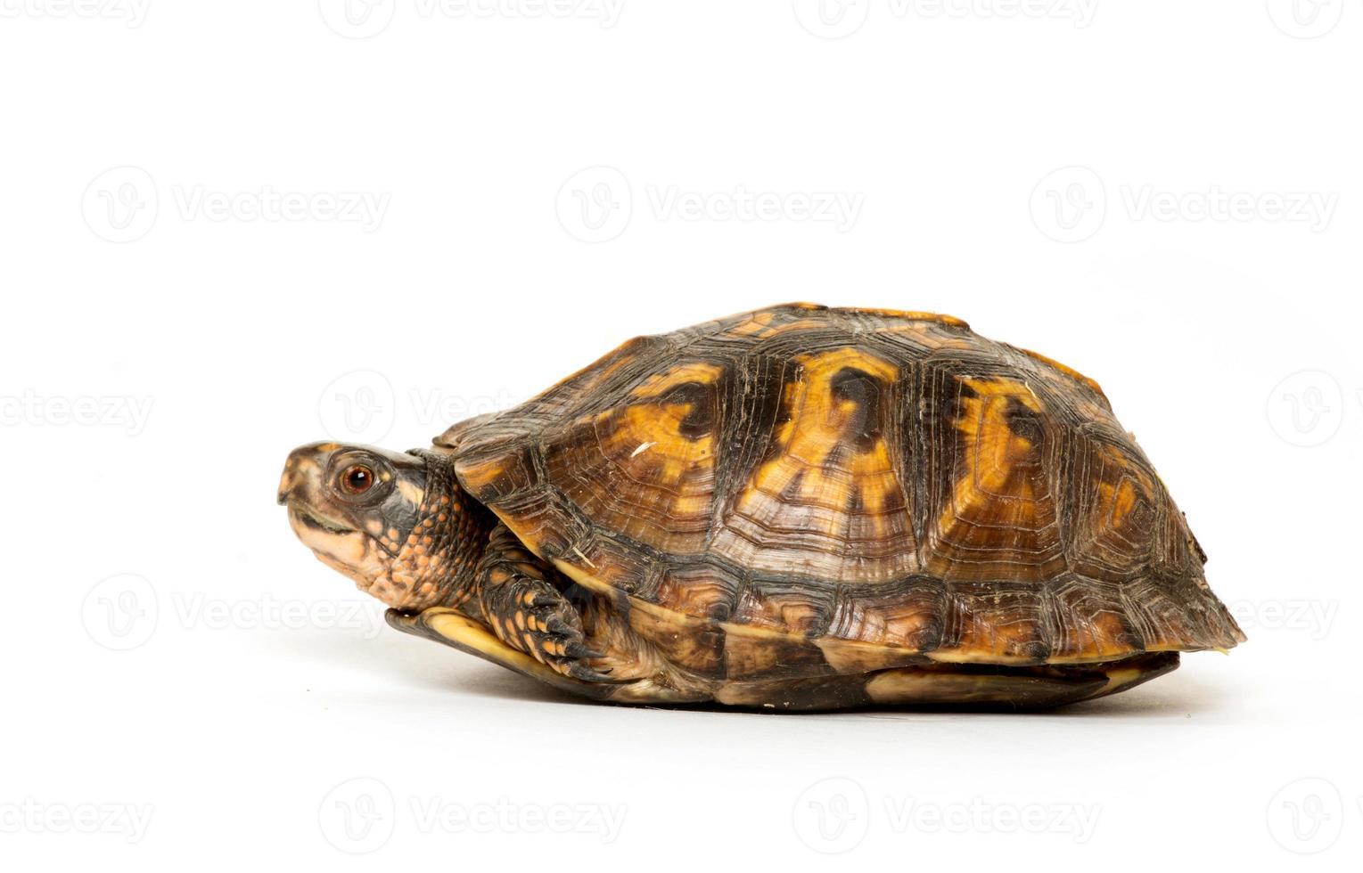 tartaruga di scatola orientale foto