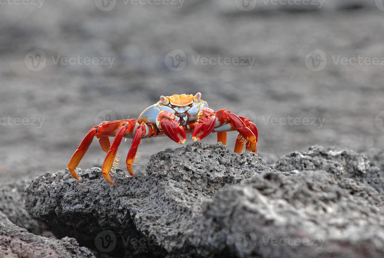 granchio sally lightfoot, isole galapagos, ecuador foto