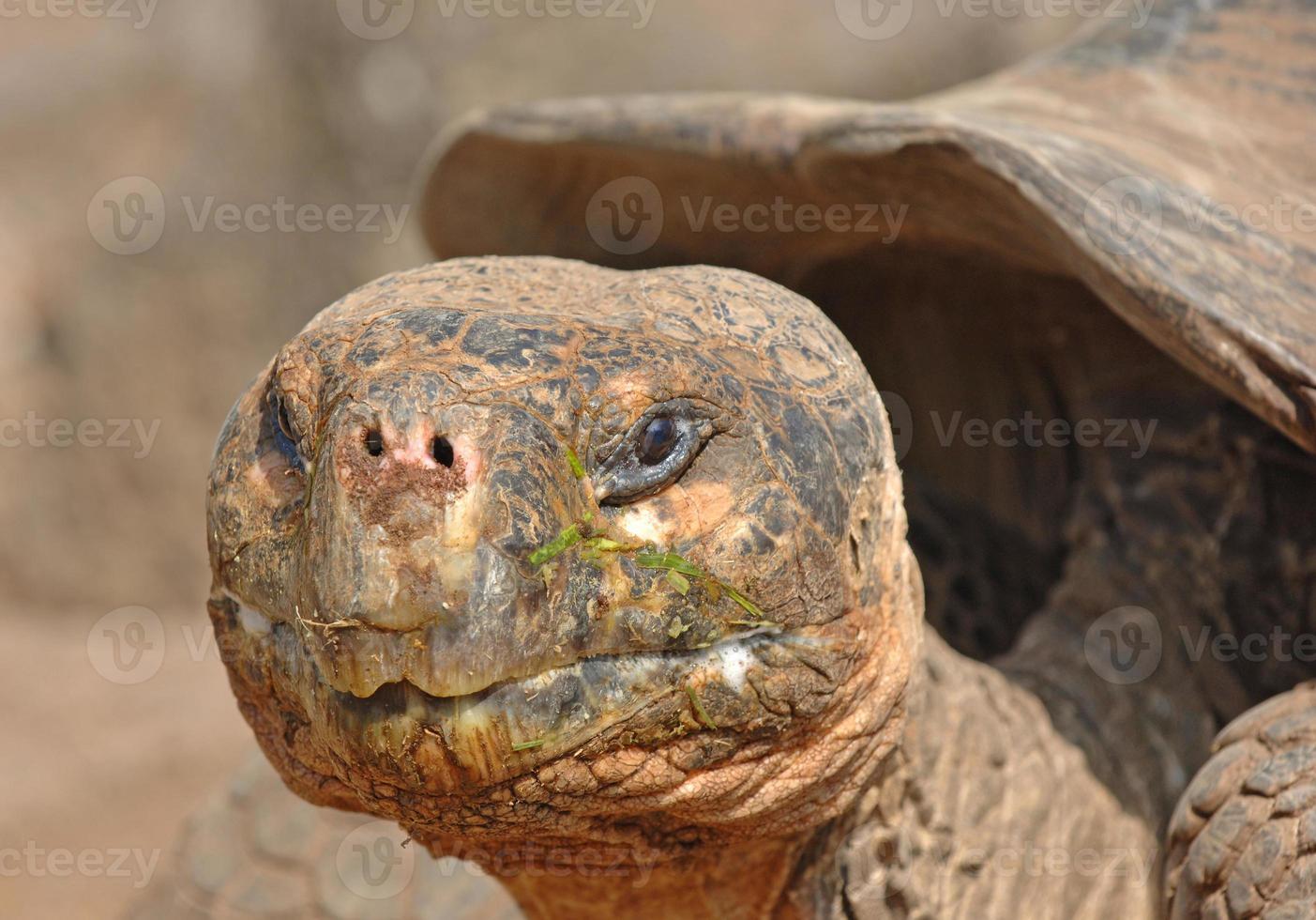 tartaruga gigante, isole galapagos, ecuador foto
