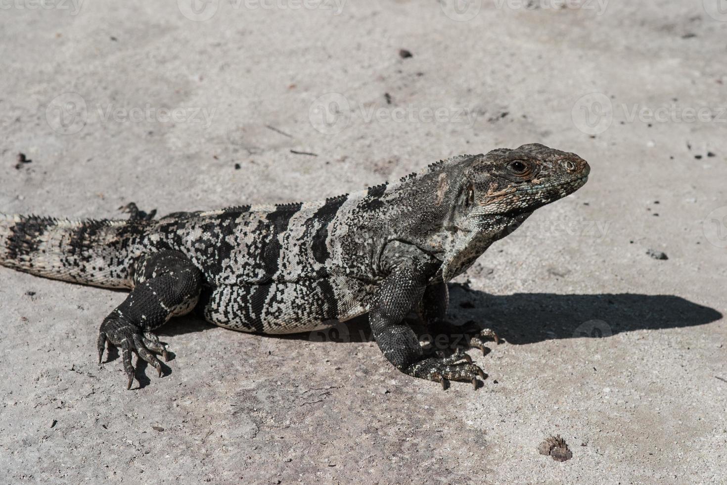 iguana verde sulla sabbia foto