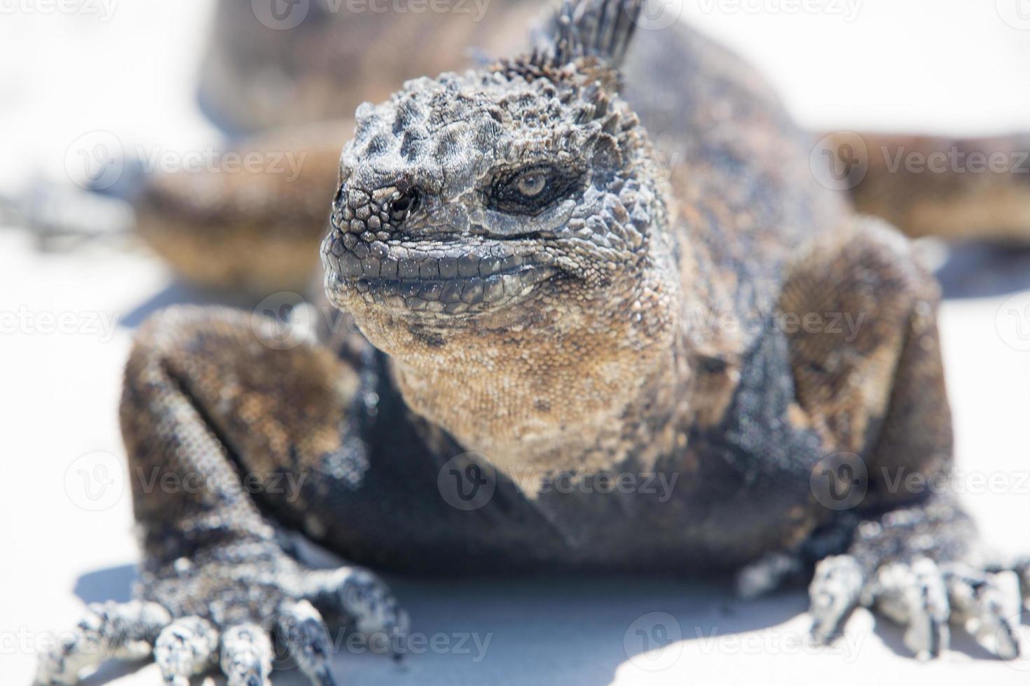 Iguana marina nelle isole Galapagos foto