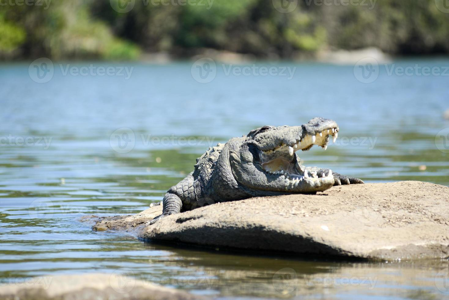 coccodrillo rapinatore foto