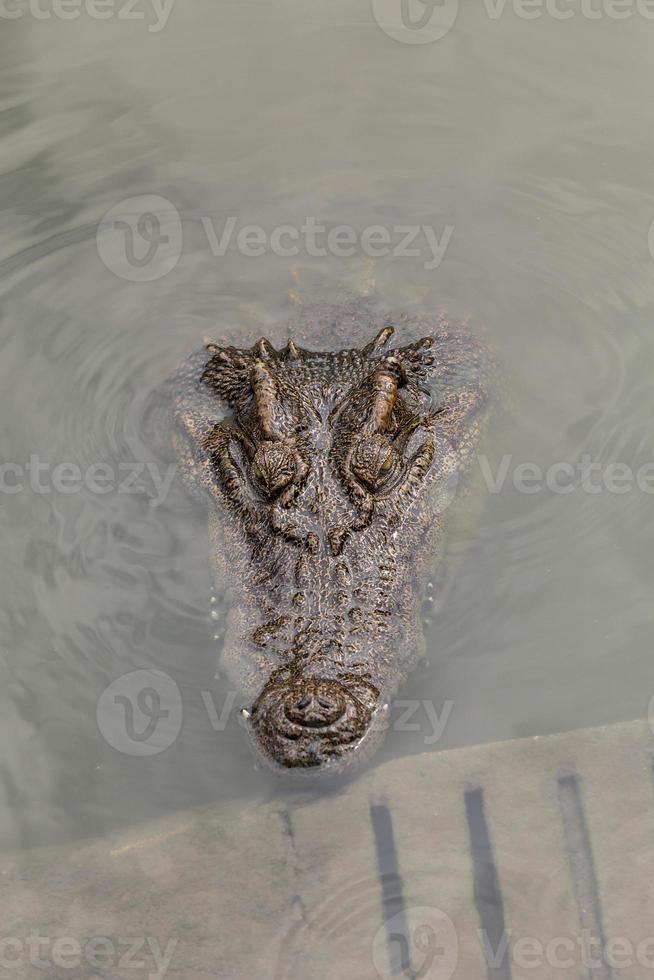 testa di coccodrillo quando galleggia da solo in acqua foto