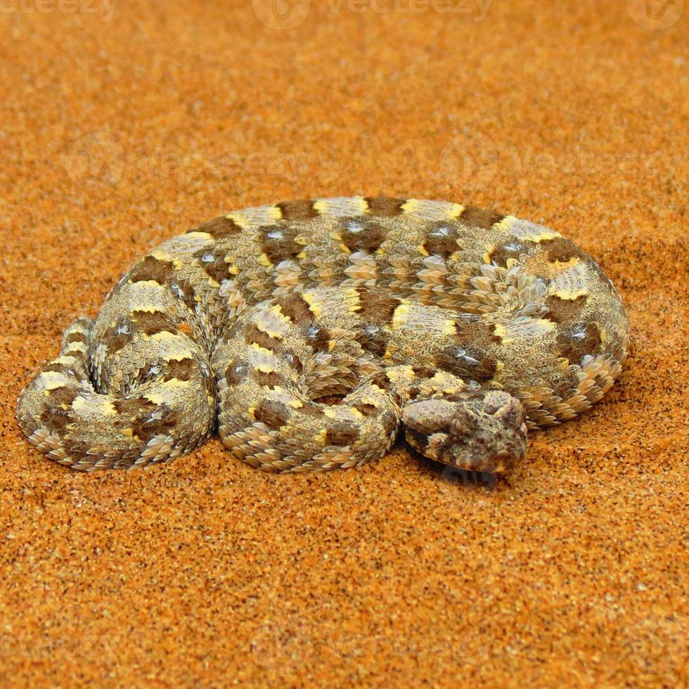 vipera del deserto cornuta foto