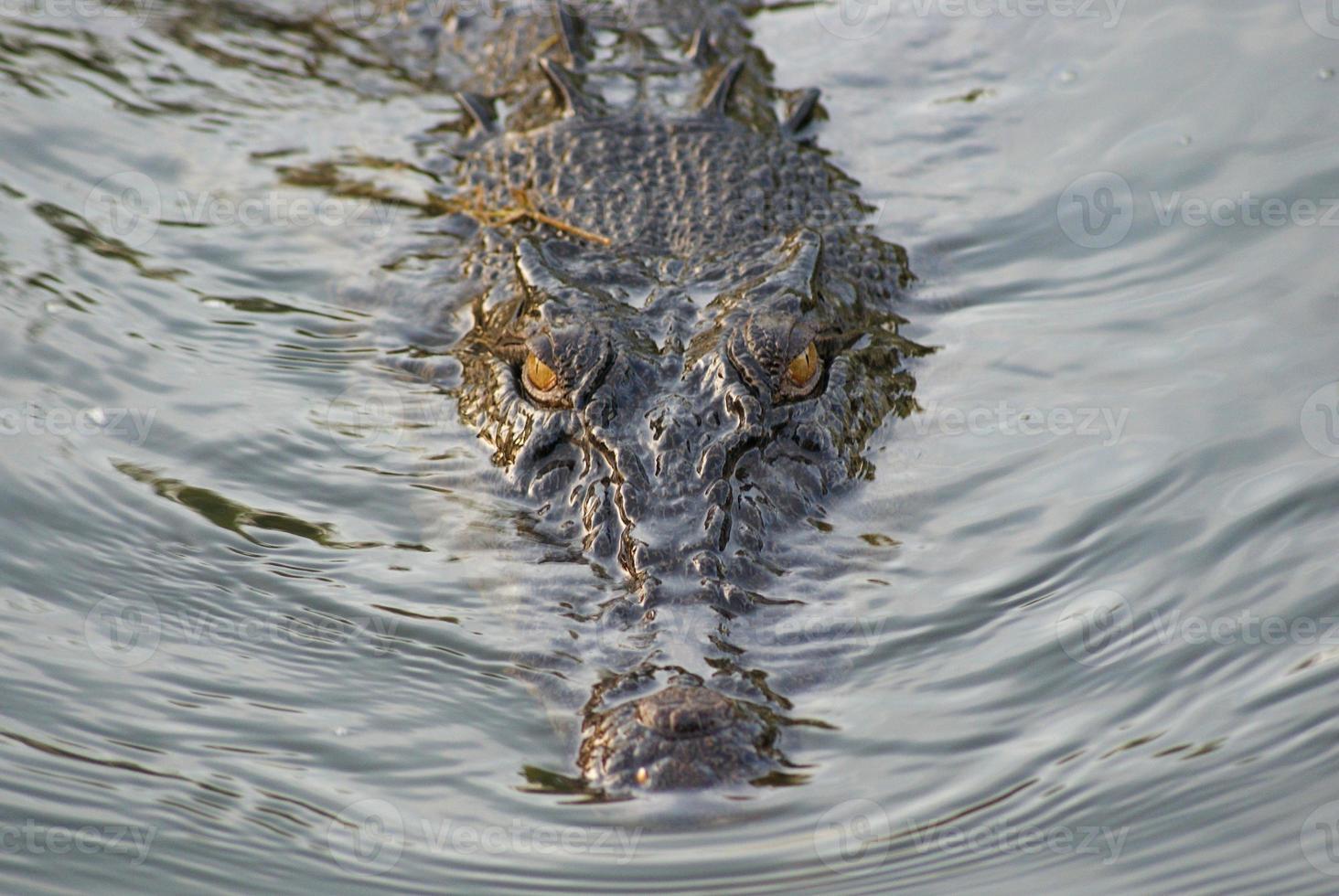 guardando il coccodrillo foto