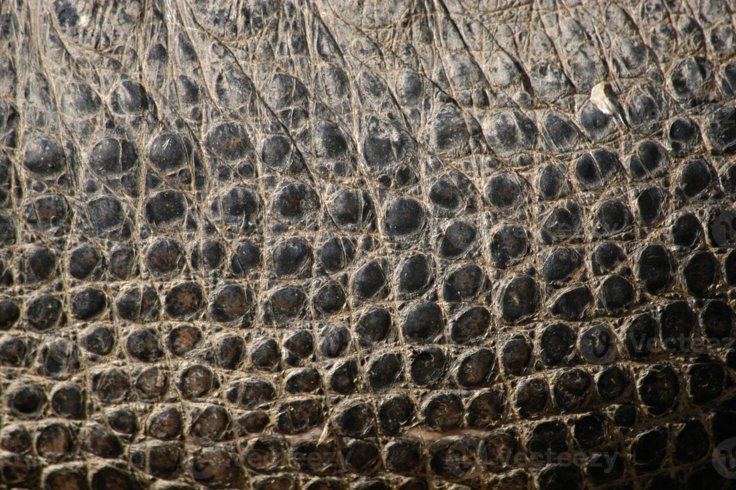 coccodrillo del Nilo. consistenza della pelle. foto