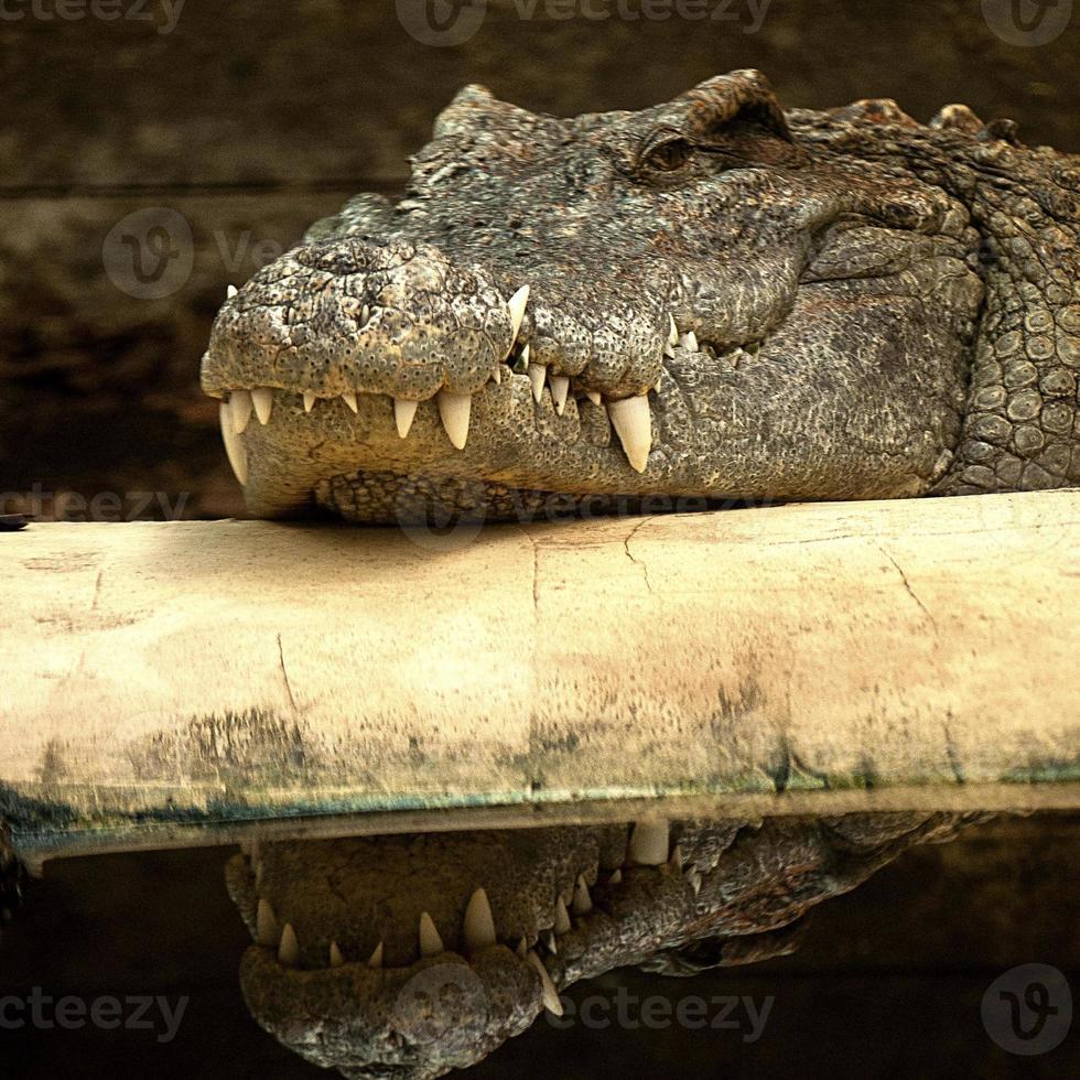 coccodrillo crogiolarsi foto