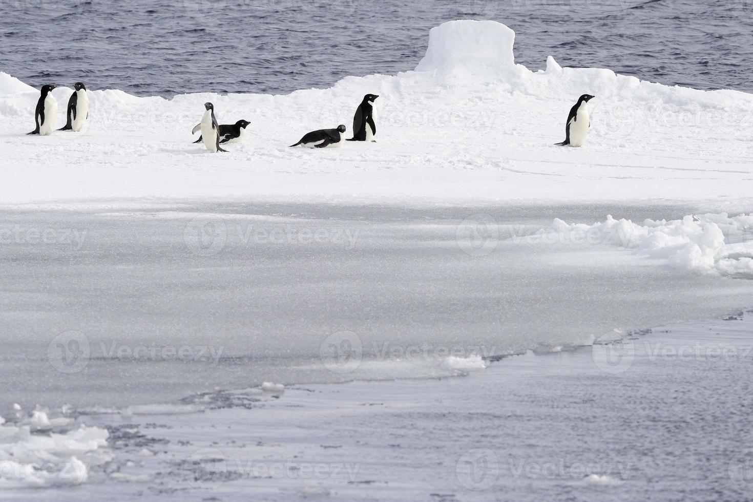 pinguini adelie e ghiaccio. foto
