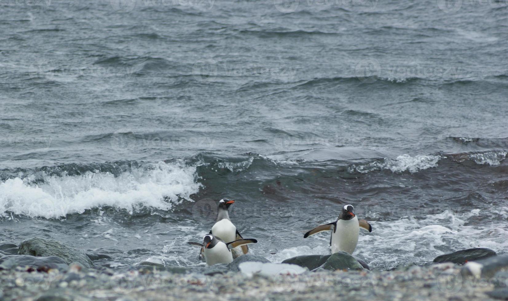 pinguini gentoo che arrivano dal mare foto