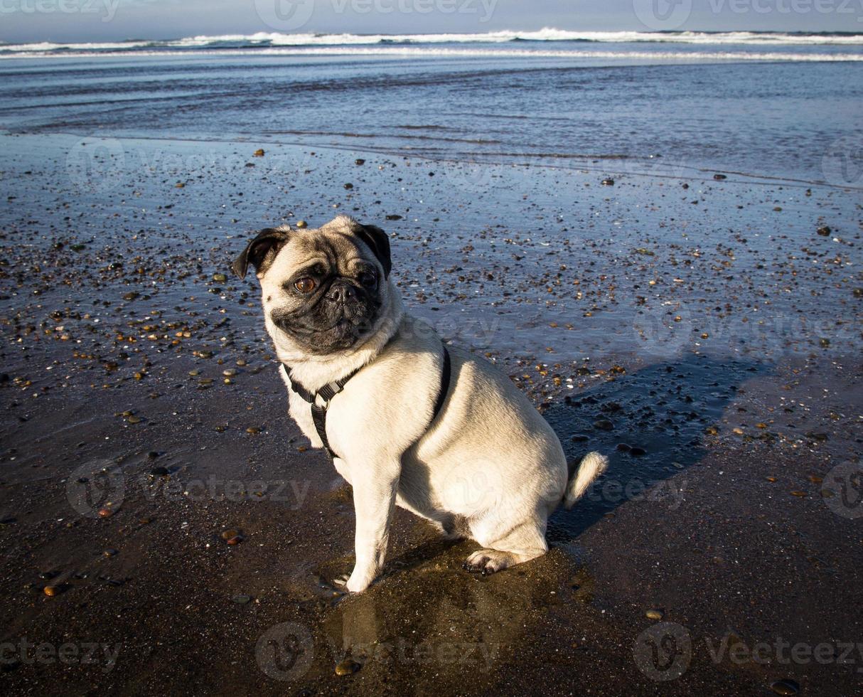 pug sulla spiaggia foto