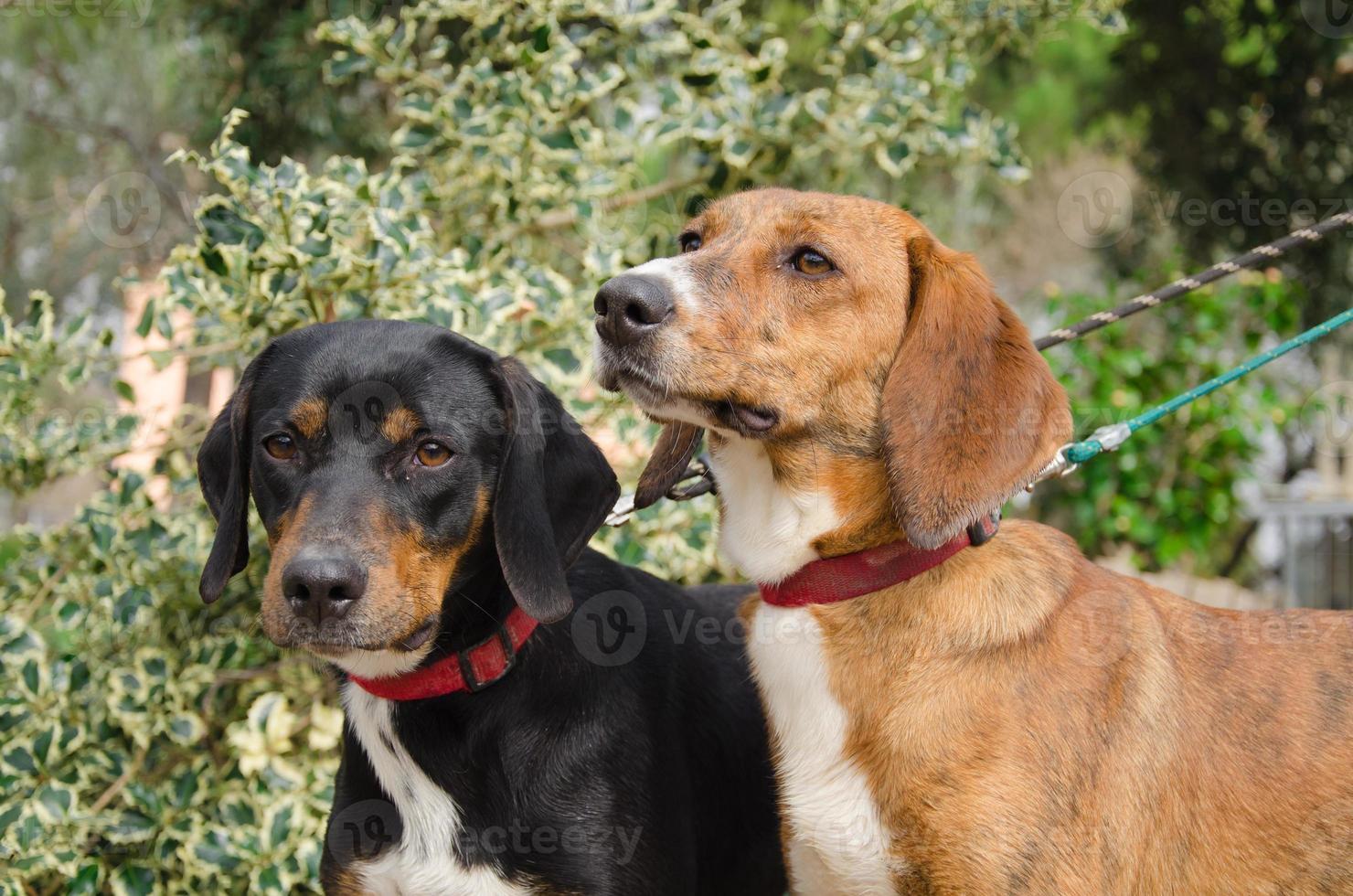 due cani da caccia foto