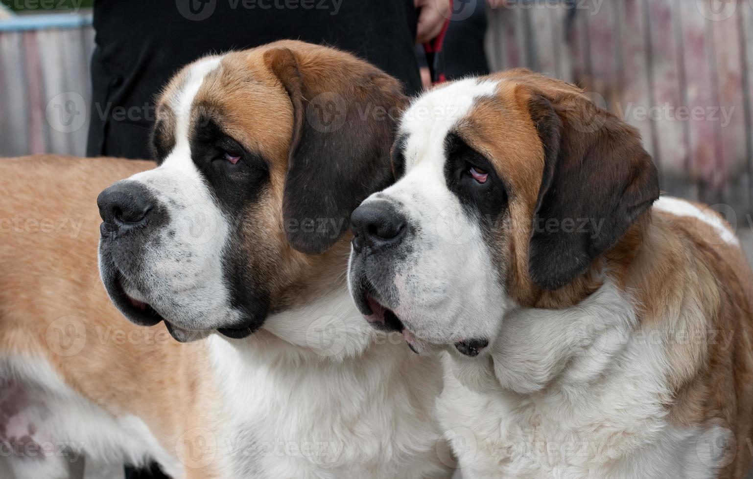coppia di cani di razza San Bernardo foto