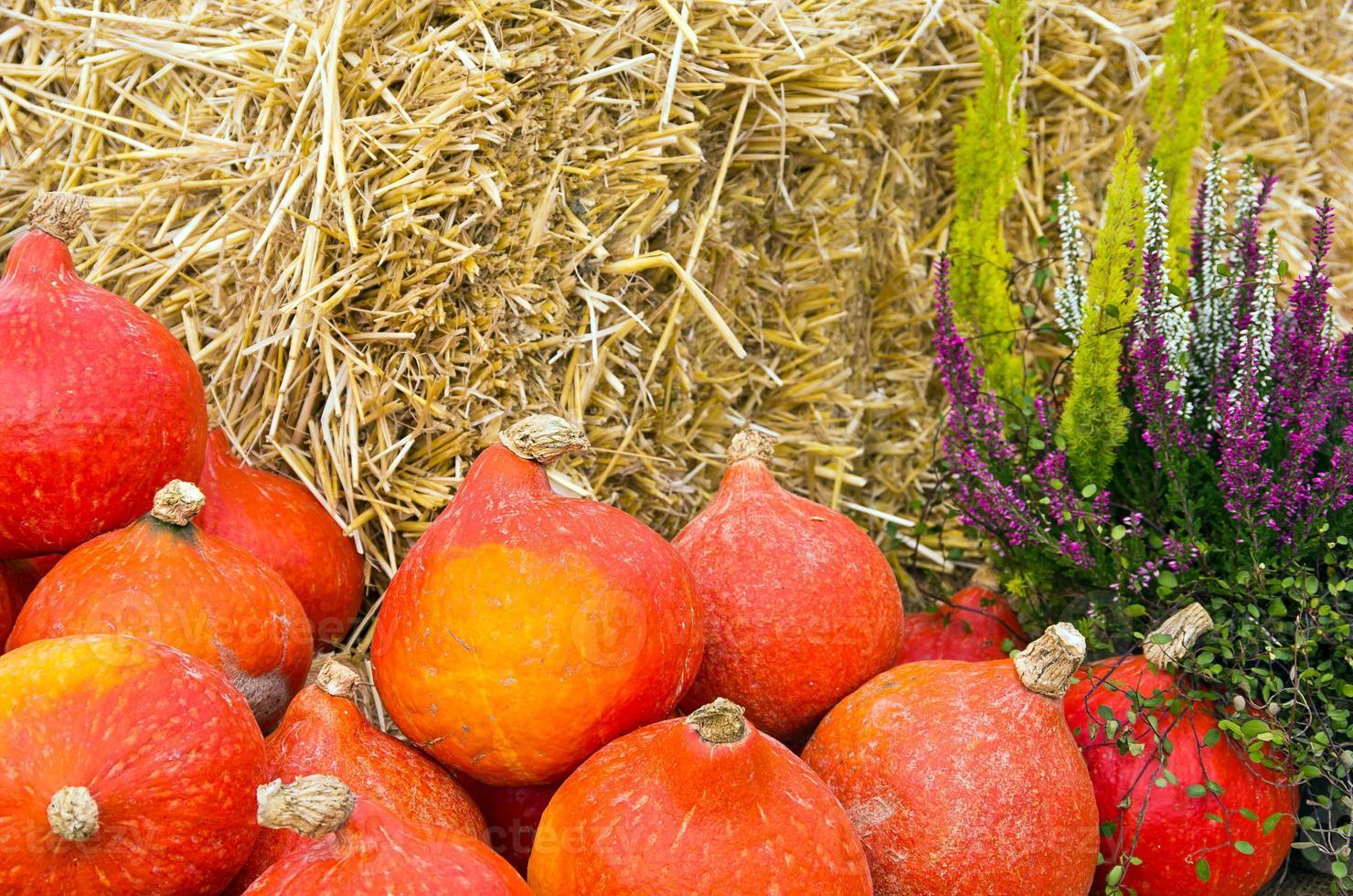 zucche rosse di kuri foto