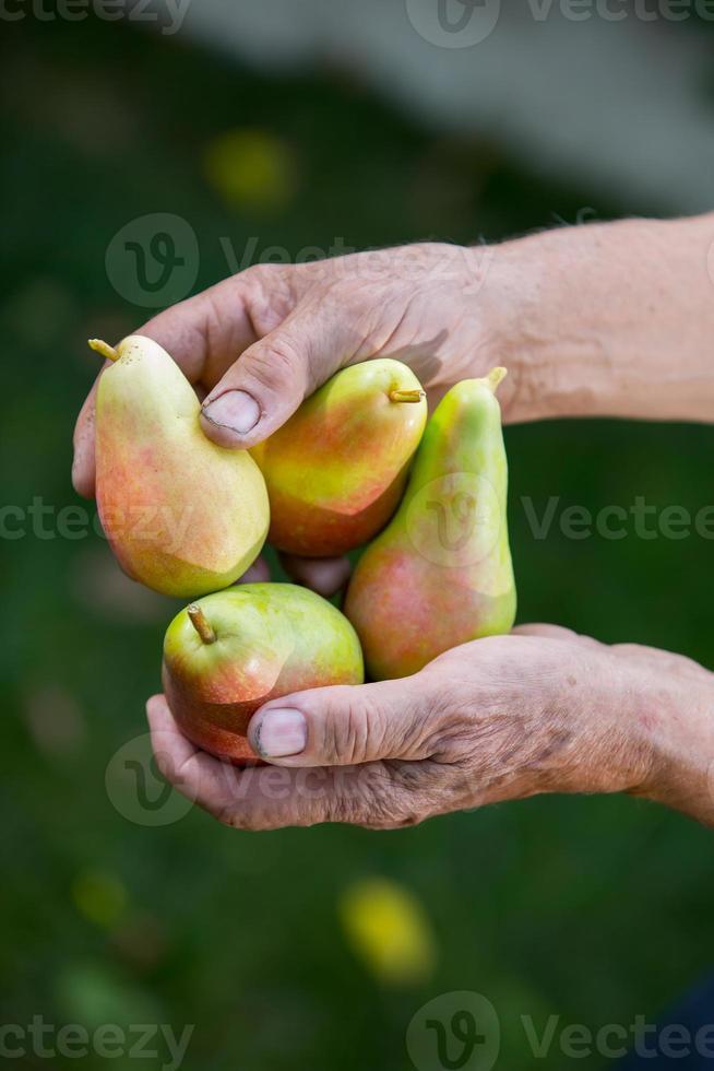 uomo anziano raccolta pere in un frutteto foto