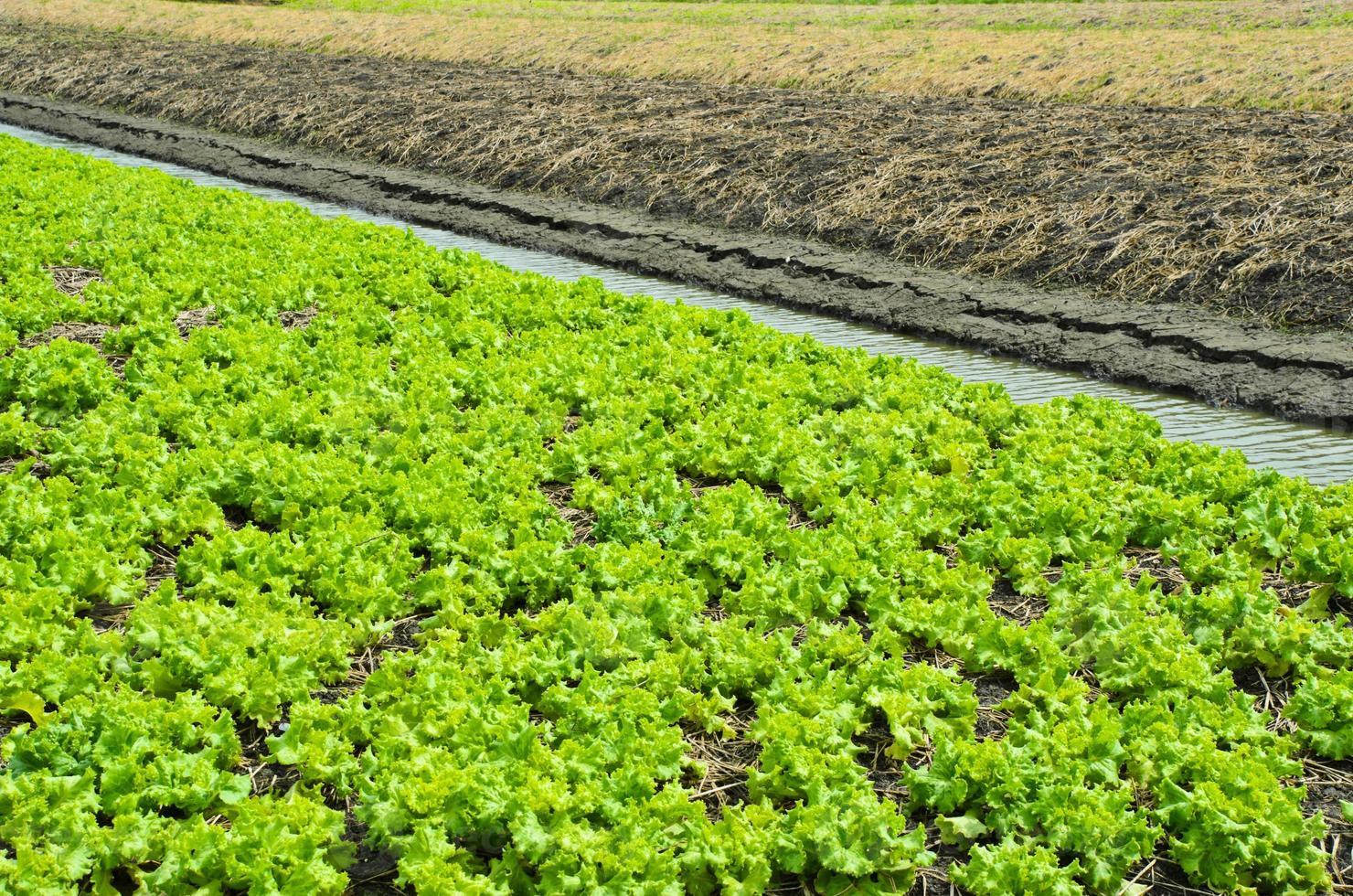 campo coltivato a lattuga foto