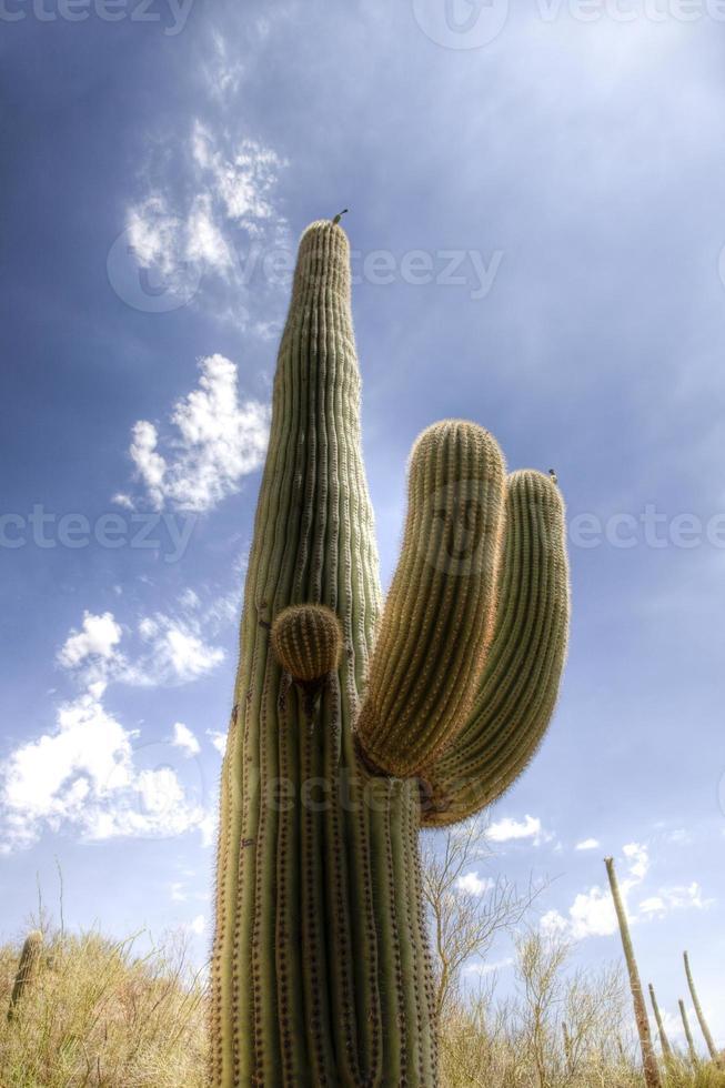 cactus Saguaro nel deserto di Sonora foto