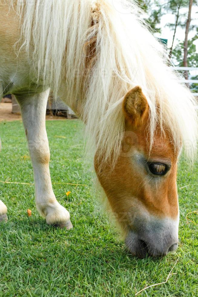 il cavallo mangia foto
