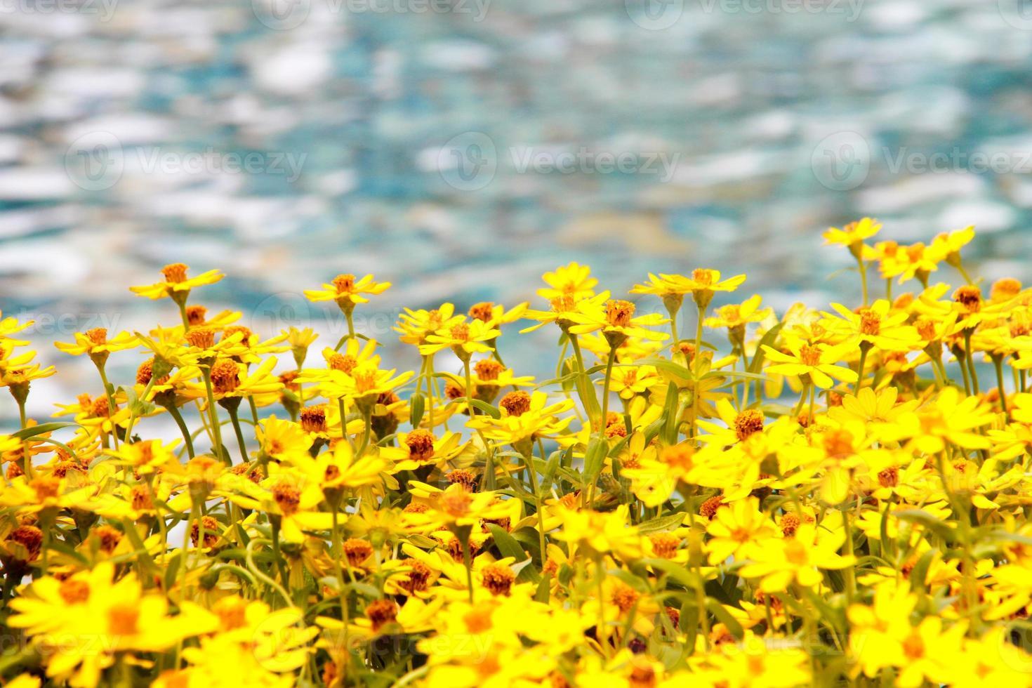 bel fiore giallo accanto al fiume con acqua di fiume sfocata foto
