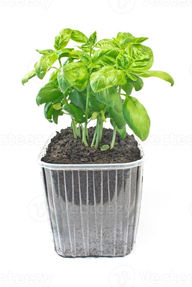 erba del basilico in vaso di plastica isolato o bianco foto