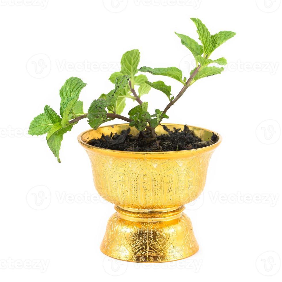 erba di menta fresca in vaso foto